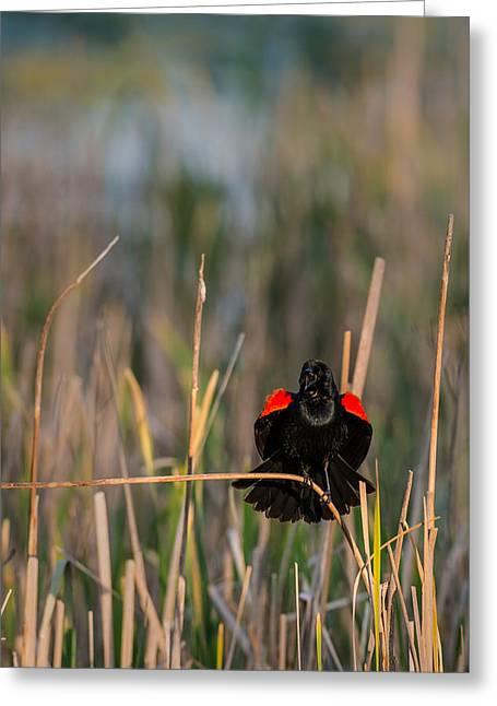 Red-winged Blackbird Displaying Greeting Card by  Onyonet  Photo Studios