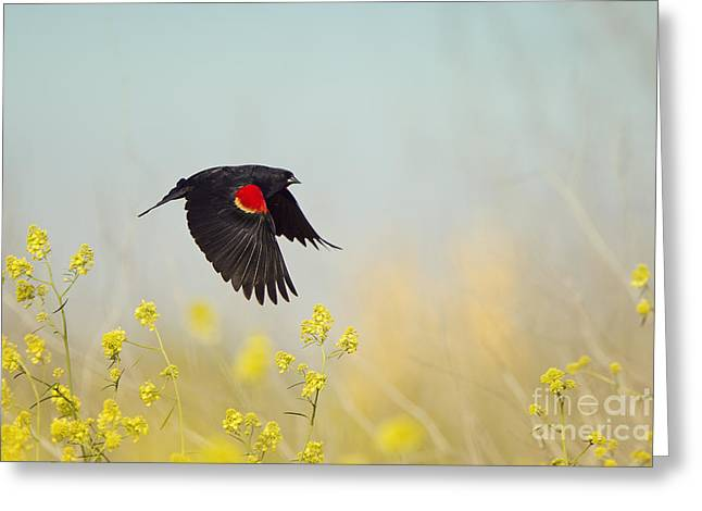 Red Winged Blackbird In Flight Greeting Card