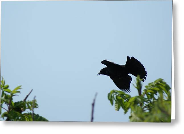 Red Winged Blackbird In Taking Off Greeting Card
