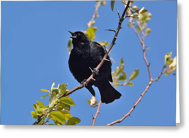 Greeting Card featuring the photograph Red Winged Blackbird by Kathy King