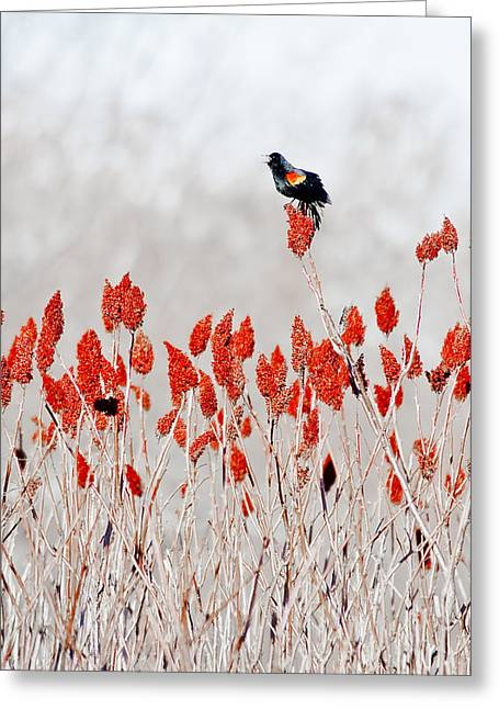 Red Winged Blackbird On Sumac Greeting Card by Steven Ralser