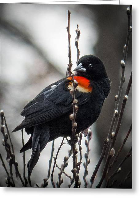 Greeting Card featuring the photograph Red Winged Blackbird In Pussy Willows by Patti Deters