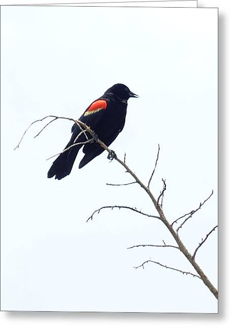 Red-winged Blackbird Greeting Card by Paul  Wilford