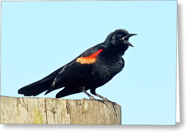 Red-winged Blackbird Singing Greeting Card by Bob Gibbons