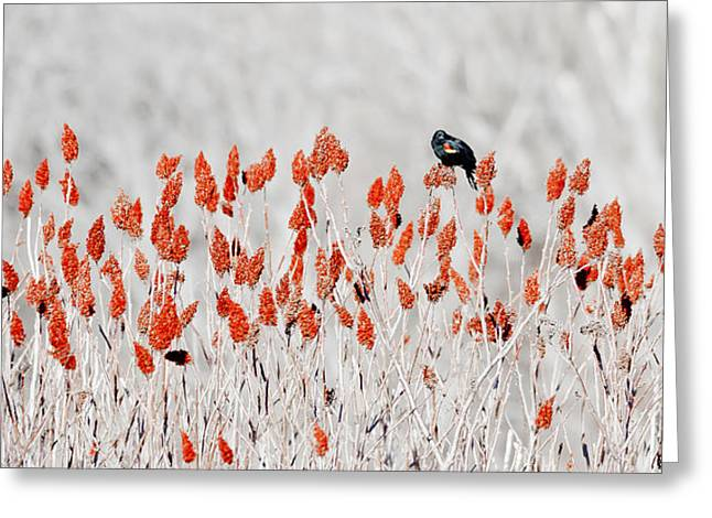 Red-winged Blackbird Greeting Card by Steven Ralser