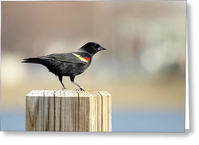 Red Winged Blackbird Greeting Card by Thomas Young