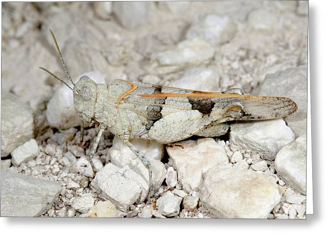 Red-winged Grasshopper Greeting Card by Nigel Downer