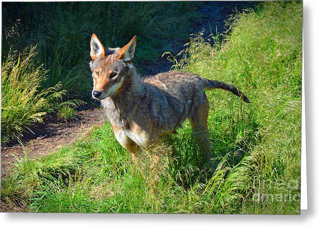 Red Wolf Pup Greeting Card