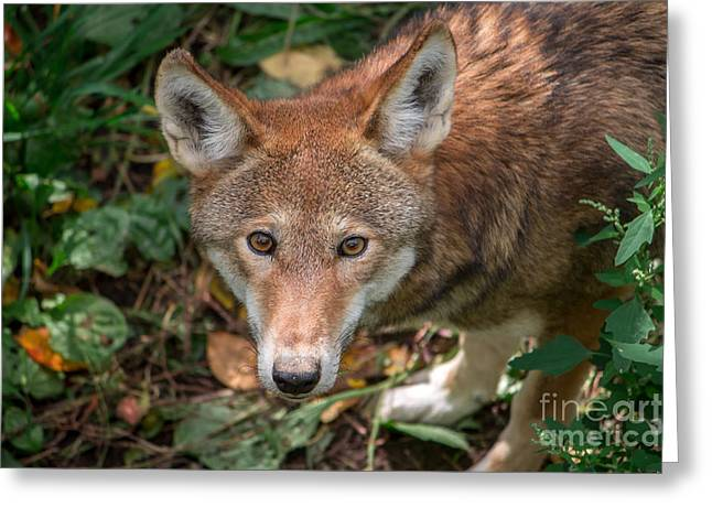 Red Wolf Greeting Card by Rebecca Brooks