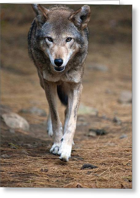 Red Wolf Strut Greeting Card by Karol Livote