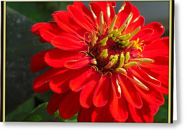 Greeting Card featuring the photograph Red Zinnia With Yellow by Heidi Manly