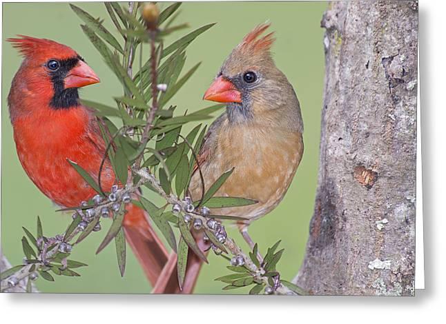 Redbirds Face To Face Greeting Card