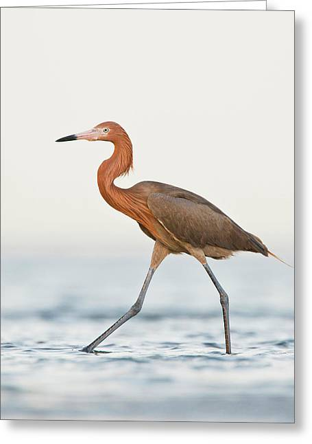 Reddish Egret (egretta Rufescens Greeting Card by Larry Ditto
