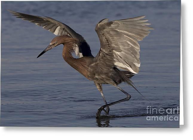 Reddish Egret Fishing Greeting Card by Meg Rousher