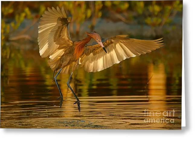 Reddish Egret In Golden Sunlight Greeting Card by Myrna Bradshaw