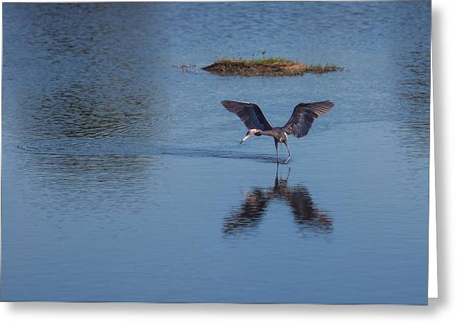 Reddish Egret Looking For Lunch Greeting Card by John M Bailey