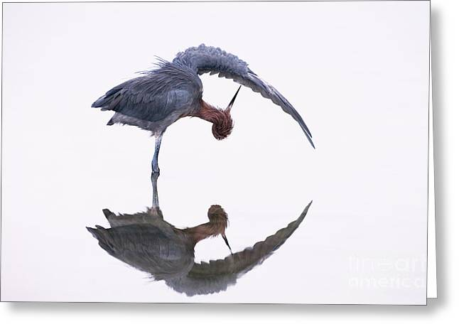 Reddish Egret Greeting Card by Marie Read