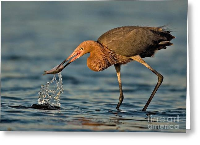 Reddish Egret Strike Greeting Card