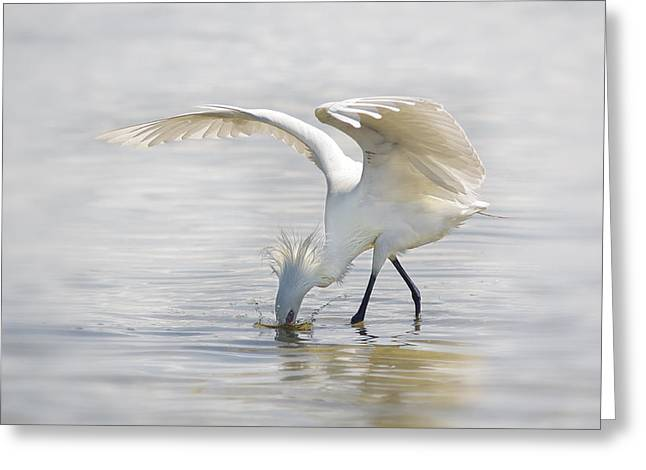 Reddish Egret White Morph Fishing. Greeting Card