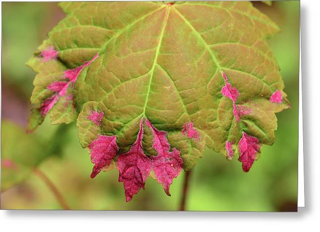 Reddish Pink Erineum Galls, Made Greeting Card