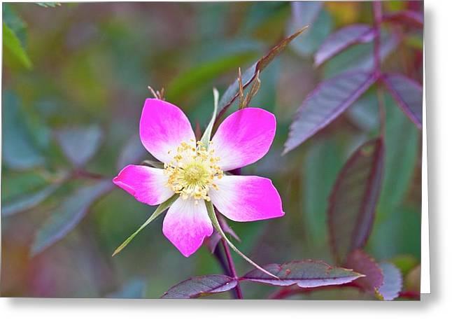 Redleaf Rose (rosa Glauca) Greeting Card by Dan Sams