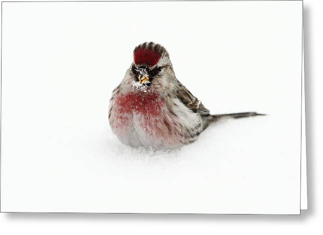 Redpoll In Snow Greeting Card