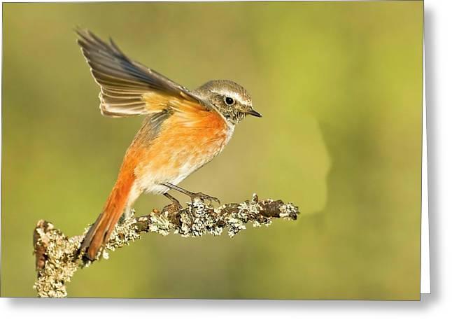 Redstart (phoenicurus Phoenicurus Greeting Card by Photostock-israel