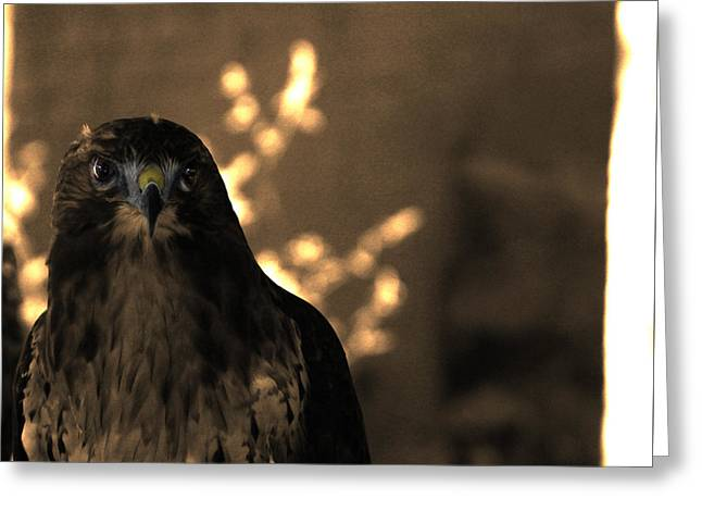 Redtail Greeting Card by Steven Digman