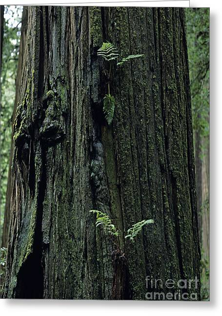 Redwood And Fern Greeting Card by Jim Corwin