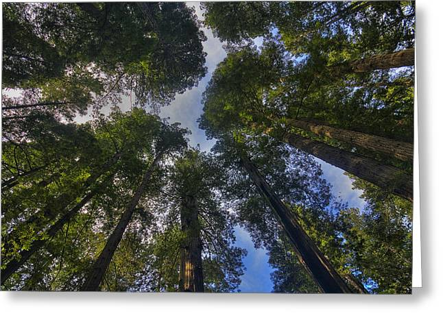 Redwood Canopy Greeting Card by Mark Kiver