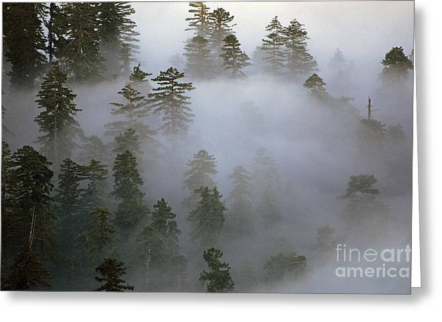 Redwood Creek Overlook With Giant Redwoods  Greeting Card