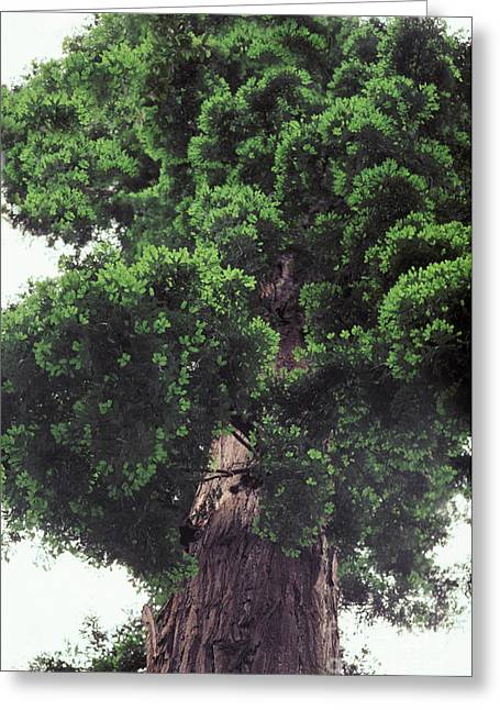 Redwood Tree Greeting Card by Ron Sanford