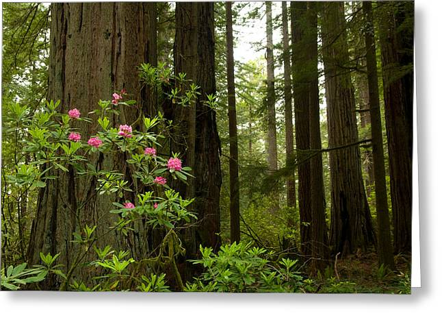 Redwood Trees And Rhododendron Flowers Greeting Card