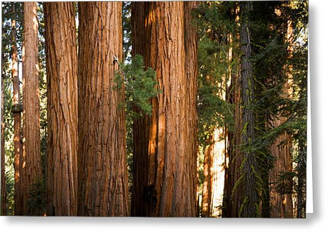 Redwood Trees In A Forest, Sequoia Greeting Card by Panoramic Images