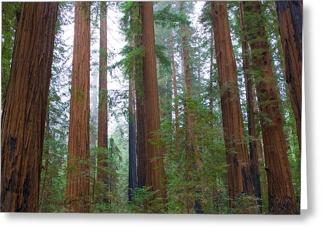 Redwood Trees Greeting Card by Panoramic Images