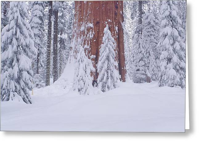 Redwoods And Winter Snow In The Giant Greeting Card