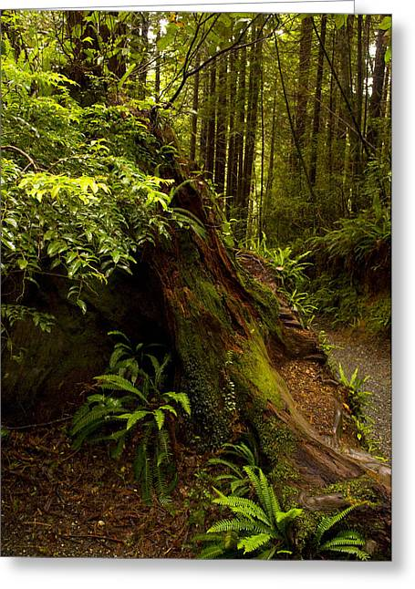 Greeting Card featuring the photograph Redwoods by Janis Knight