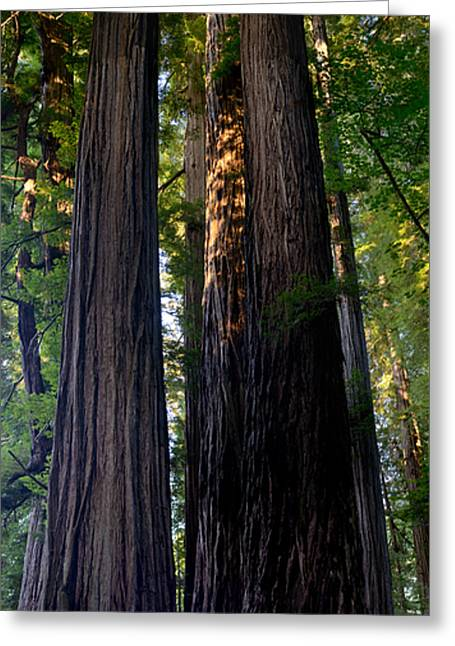 Redwoods Vertical Panorama Greeting Card