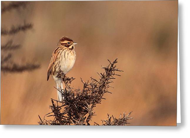 Reed Bunting Greeting Card by Peter Skelton