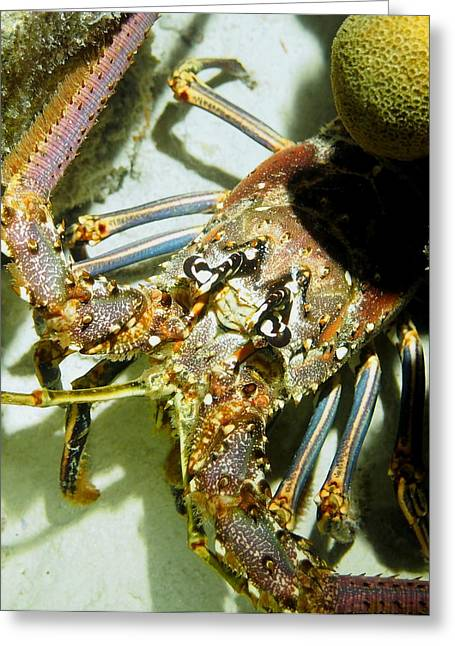 Greeting Card featuring the photograph Reef Lobster Close Up Spotlight by Amy McDaniel