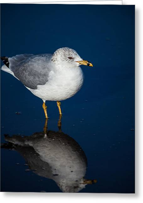 Reflecting Gull Greeting Card by Karol Livote