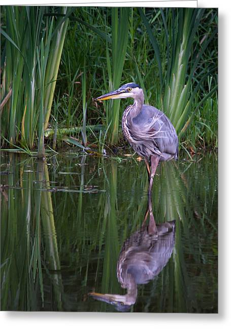 Reflections - Great Blue Heron  Greeting Card by Doug Underwood