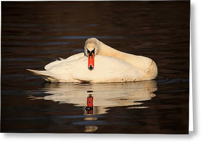 Reflections Of A Swan Greeting Card by Karol Livote
