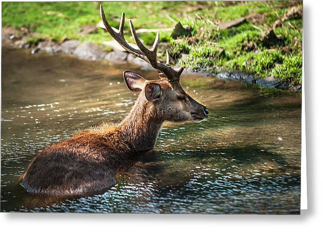 Refreshing 2. Male Deer In The Pampelmousse Botanical Garden. Mauritius Greeting Card