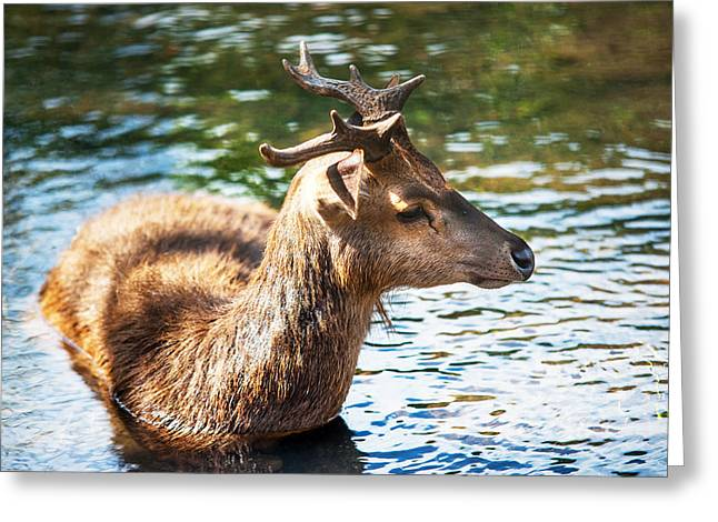 Refreshing 3. Male Deer In The Pampelmousse Botanical Garden. Mauritius Greeting Card