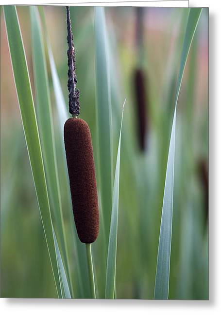 Regal American Cattails Greeting Card