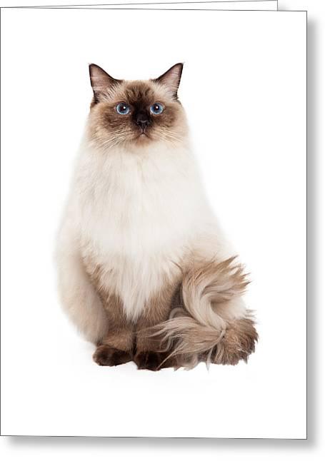 Regal Ragdoll Cat Sitting Greeting Card by Susan Schmitz