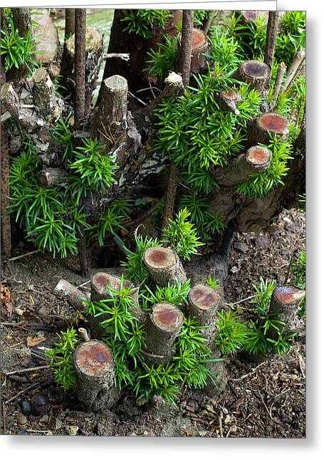 Regrowth Of Coppiced Yew (taxus Baccata) Greeting Card by Dr Jeremy Burgess