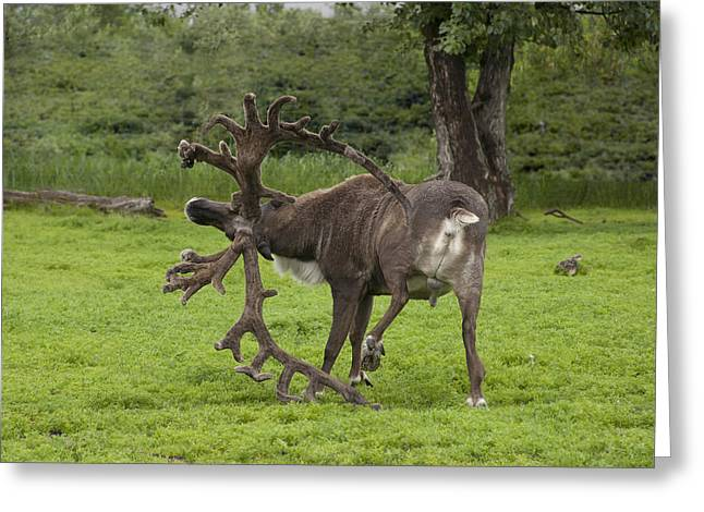 Reindeer With A Big Rack Greeting Card