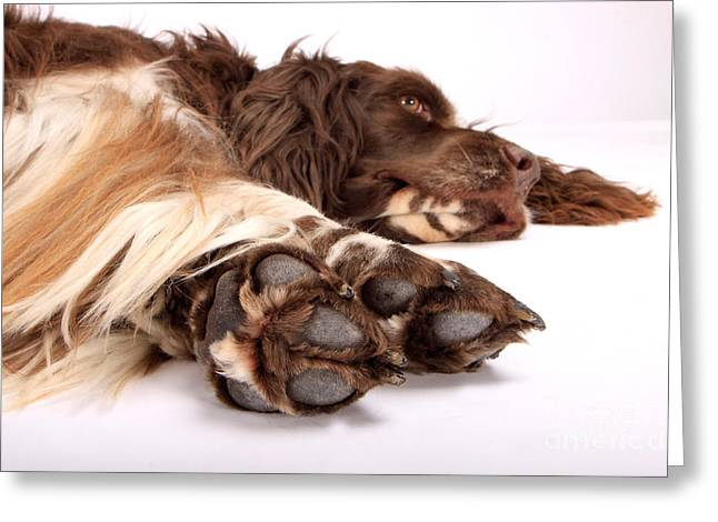 Relaxed Spaniel Greeting Card by Christine Steimer